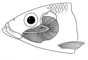 fish head drawing